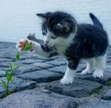 Photo d'un chaton jouant avec une fleur d'une définition de 160x156 px