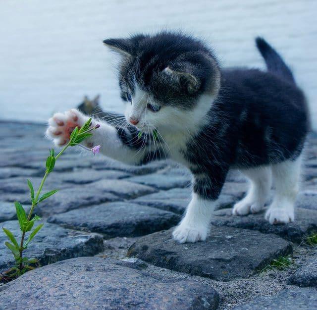 Photo d'un chaton jouant avec une fleur d'une définition de 640x626 px
